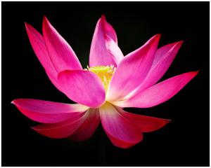 lotusflower-topscoring-doylestownphotoclub