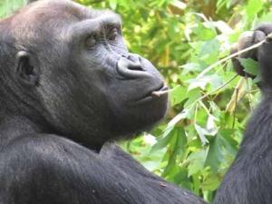 DG gorilla