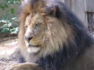 DG lion