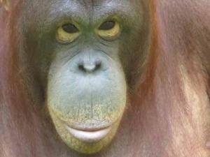 DG orangutan