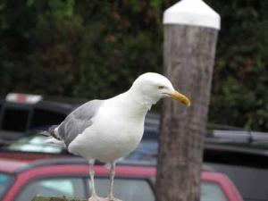 DG seagull