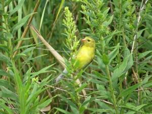 DG yellow bird