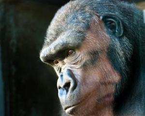 JMcKenna gorilla woman