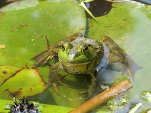 dg frog