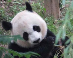 dg panda