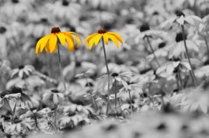 spot_jpl_sunflowers