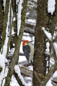 spot_kad_woodpecker