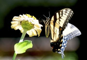 AM butterfly 7-25-2010-2cpc