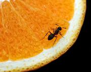 JanG a1 ant