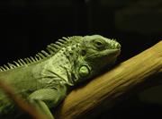 JanG a10 iguana