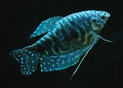 JanG a12 fish