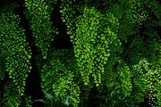 JanG a16 ferns