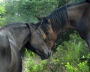 MBB wild horses in nc