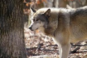 kadwolf2