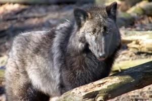 kadwolf3