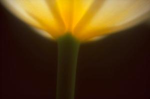 MH Tulip Aglow2