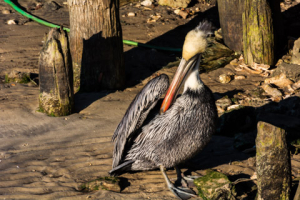 20King-resting Pelican