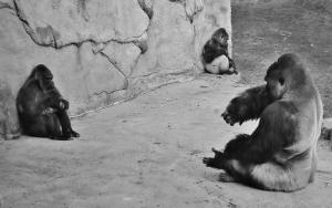 1st_THREE gorillas-SMS01