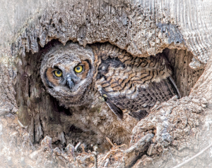 Great Horned Owl Fledgling-