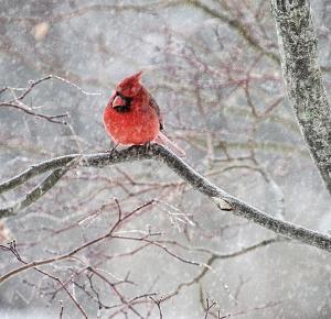 W_KAD02-cardinal