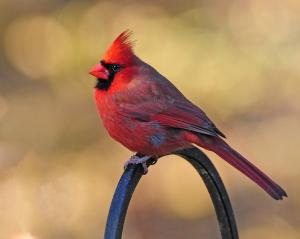 Cardinal_Tom Mayhew-Volpe Award