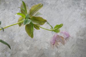 Fanic Floral Composite