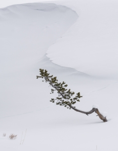 Lonely Pine-Campoli