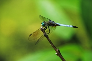 K Ditanna dragonfly IMG_0998 copy