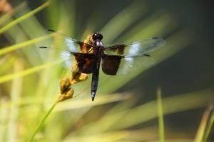 Kditanna dragonfly IMG_2158