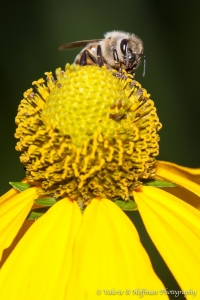 Bee on Yellow Coneflower-3634